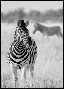 Zebra Bw Poster