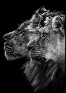 Lion and lioness portrait Poster
