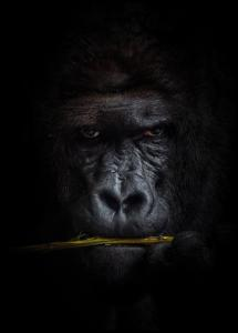 Mysterious gorilla Poster