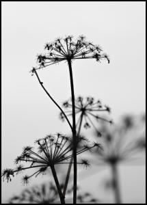 Black And White Flowers Poster