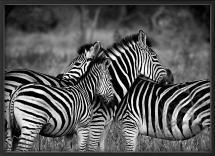 Zebra group-hugs Poster