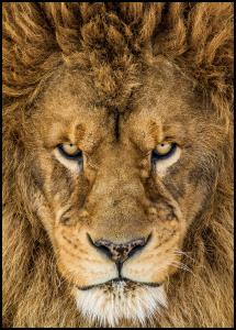 Serious Lion Poster