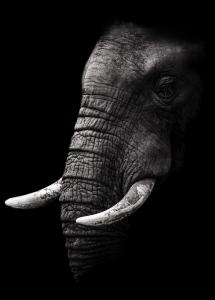 Portrait Elephant Poster